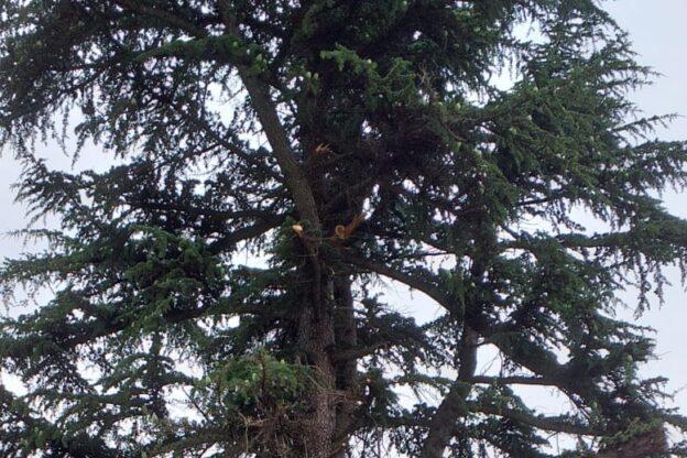 Giaveno, dal cedro del Libano del Pacchiotti cadono altri due rami sulla strada