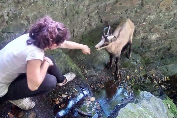 Giaveno, giovane camoscio non riesce a uscire da un giardino: liberato