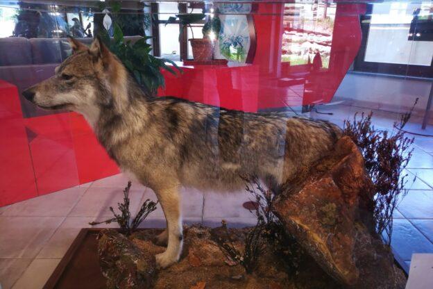 Diorama a Sauze d'Oulx: gli animali del bosco esposti all'Ufficio del Turismo e c'è anche il lupo
