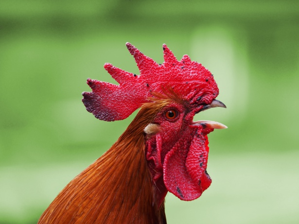 Trana, il gallo è troppo canterino: i vicini minacciano di rivolgersi al sindaco… Gallo