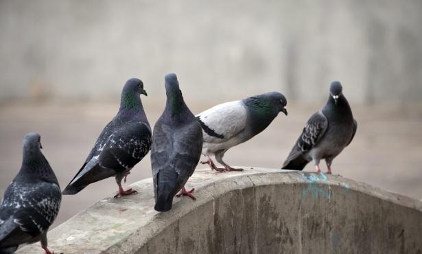 Giaveno, troppi piccioni nel centro storico: una petizione in Comune
