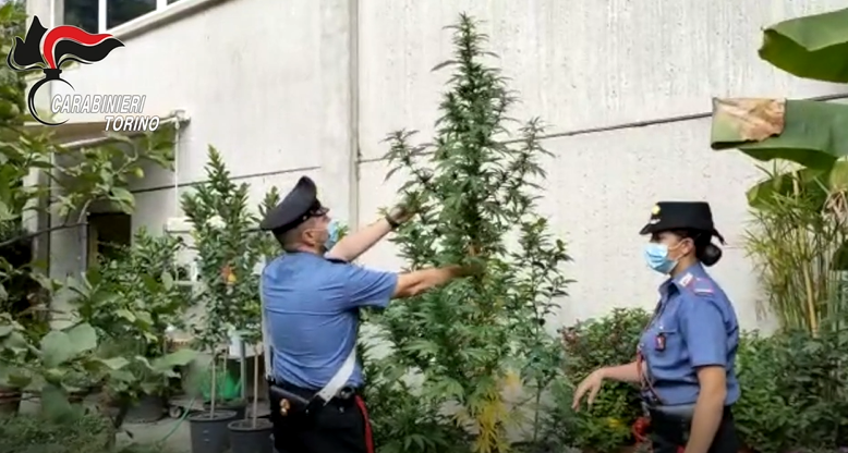 "A Rosta i carabinieri scoprono un ""vivaio di marijuana"" e diverse armi"