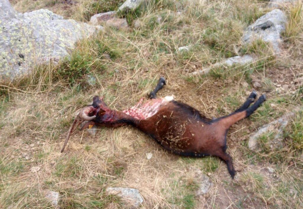 """Lupi in Val Sangone, parlano gli allevatori: """"Non si può andare avanti così"""""""